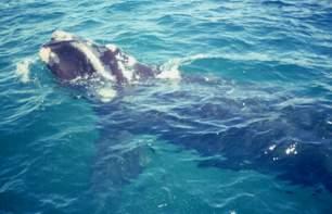 La balena Franca, in Puerto Madryn nel Sud dell'Argentina